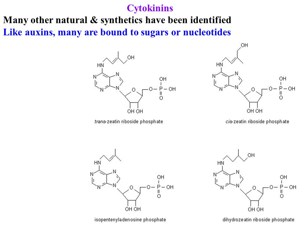 Cytokinins Many other natural & synthetics have been identified Like auxins, many are bound to sugars or nucleotides