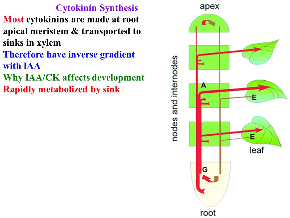 Cytokinin Synthesis Most cytokinins are made at root apical meristem & transported to sinks in xylem Therefore have inverse gradient with IAA Why IAA/CK affects development Rapidly metabolized by sink