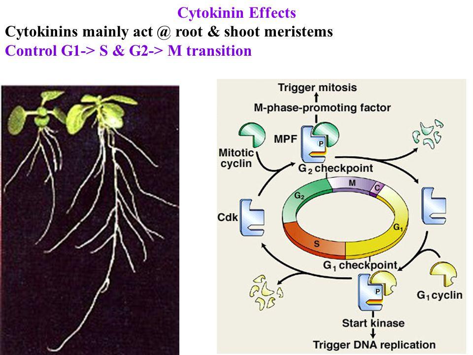 Cytokinin Effects Cytokinins mainly act @ root & shoot meristems Control G1-> S & G2-> M transition