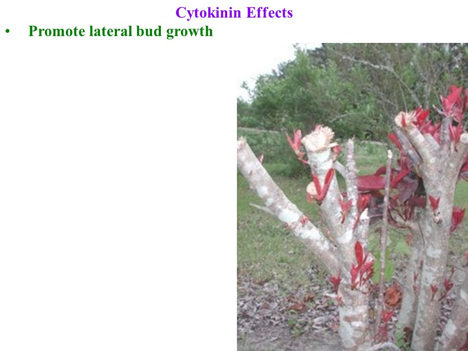 Cytokinin Effects Promote lateral bud growth