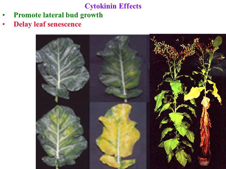 Cytokinin Effects Promote lateral bud growth Delay leaf senescence