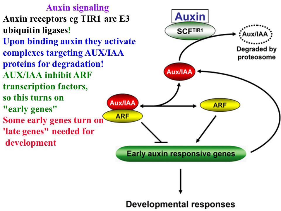 Auxin signaling Auxin receptors eg TIR1 are E3 ubiquitin ligases.