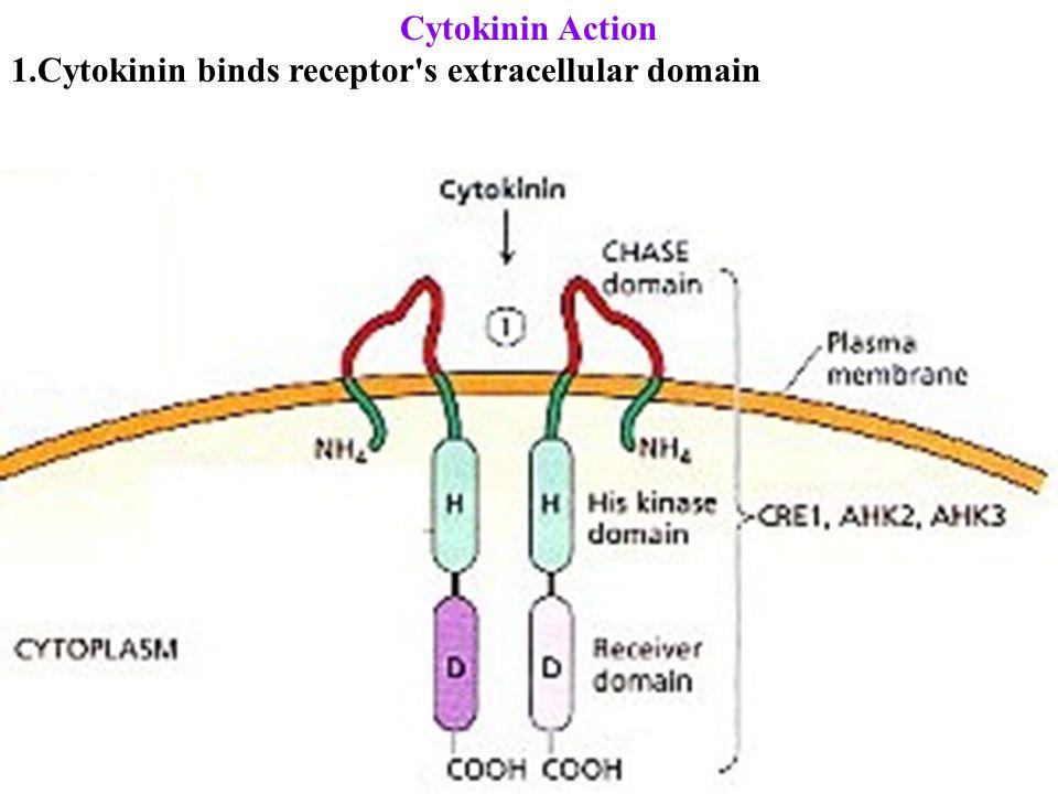 Cytokinin Action 1.Cytokinin binds receptor s extracellular domain