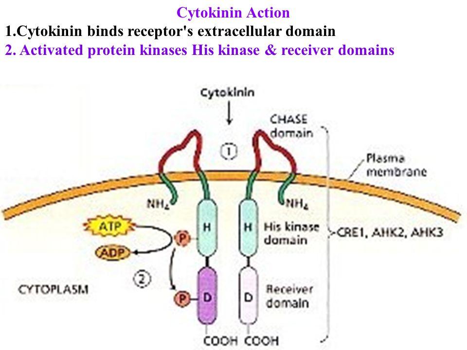 Cytokinin Action 1.Cytokinin binds receptor s extracellular domain 2.