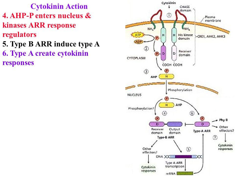 Cytokinin Action 4. AHP-P enters nucleus & kinases ARR response regulators 5.