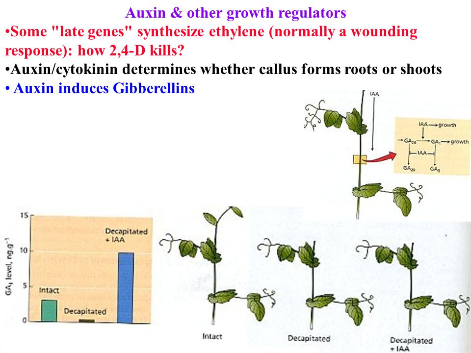Auxin & other growth regulators Some late genes synthesize ethylene (normally a wounding response): how 2,4-D kills.