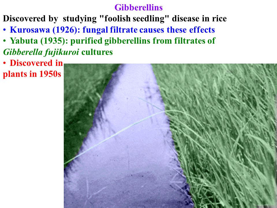 Gibberellins Discovered by studying foolish seedling disease in rice Kurosawa (1926): fungal filtrate causes these effects Yabuta (1935): purified gibberellins from filtrates of Gibberella fujikuroi cultures Discovered in plants in 1950s