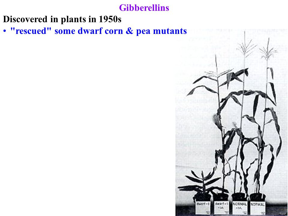 Gibberellins Discovered in plants in 1950s rescued some dwarf corn & pea mutants