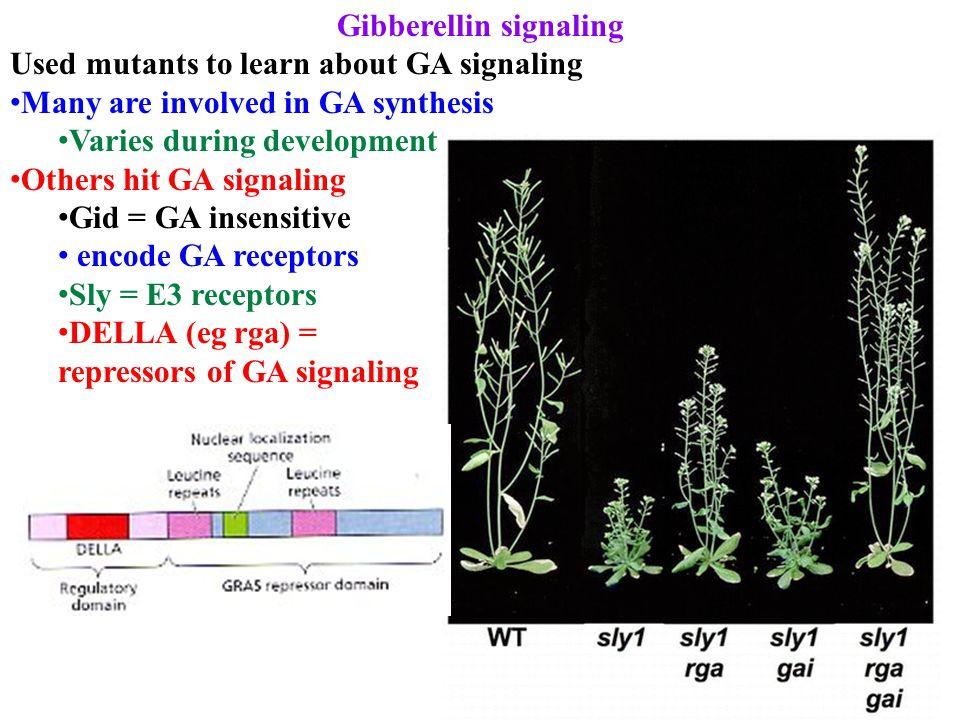 Gibberellin signaling Used mutants to learn about GA signaling Many are involved in GA synthesis Varies during development Others hit GA signaling Gid = GA insensitive encode GA receptors Sly = E3 receptors DELLA (eg rga) = repressors of GA signaling