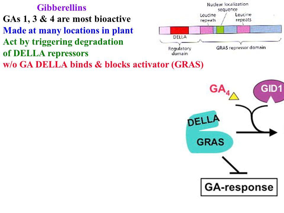 Gibberellins GAs 1, 3 & 4 are most bioactive Made at many locations in plant Act by triggering degradation of DELLA repressors w/o GA DELLA binds & blocks activator (GRAS)