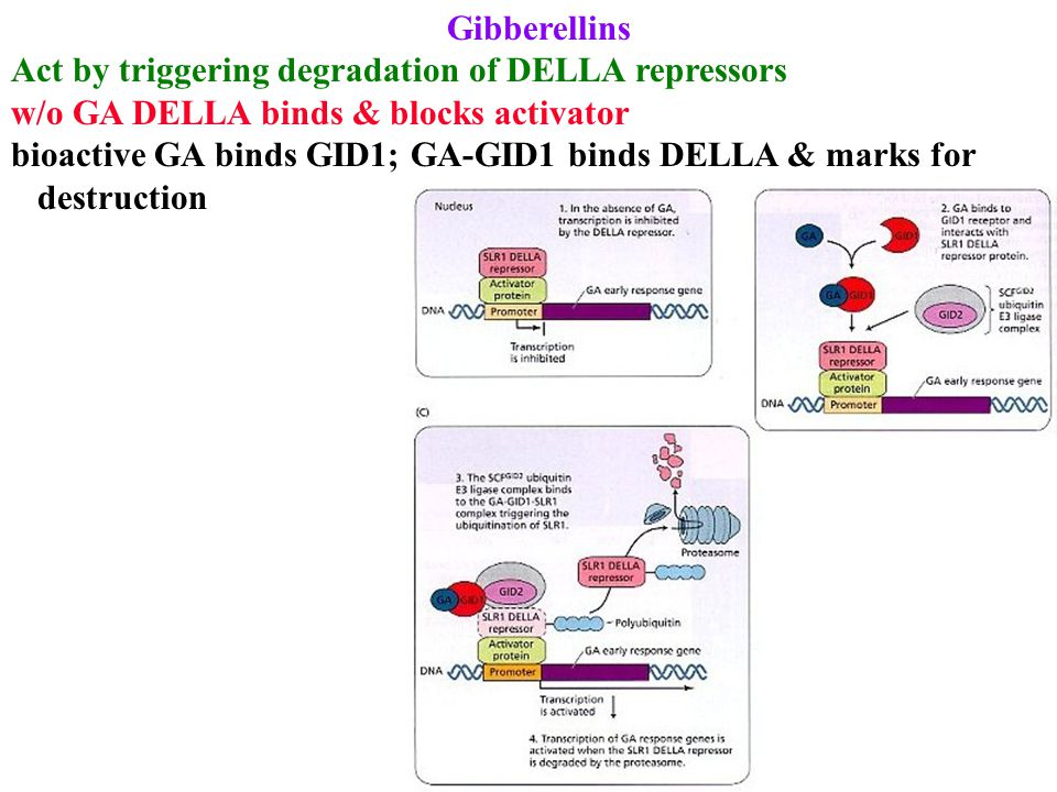 Gibberellins Act by triggering degradation of DELLA repressors w/o GA DELLA binds & blocks activator bioactive GA binds GID1; GA-GID1 binds DELLA & marks for destruction