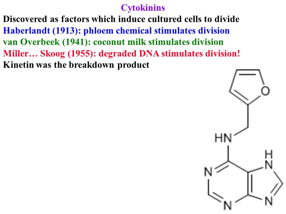 Cytokinins Discovered as factors which induce cultured cells to divide Haberlandt (1913): phloem chemical stimulates division van Overbeek (1941): coconut milk stimulates division Miller… Skoog (1955): degraded DNA stimulates division.