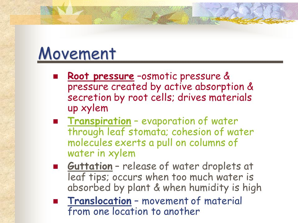Movement Root pressure –osmotic pressure & pressure created by active absorption & secretion by root cells; drives materials up xylem Transpiration – evaporation of water through leaf stomata; cohesion of water molecules exerts a pull on columns of water in xylem Guttation – release of water droplets at leaf tips; occurs when too much water is absorbed by plant & when humidity is high Translocation – movement of material from one location to another
