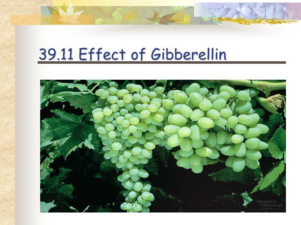Dwarf pea plant treated with gibberellin