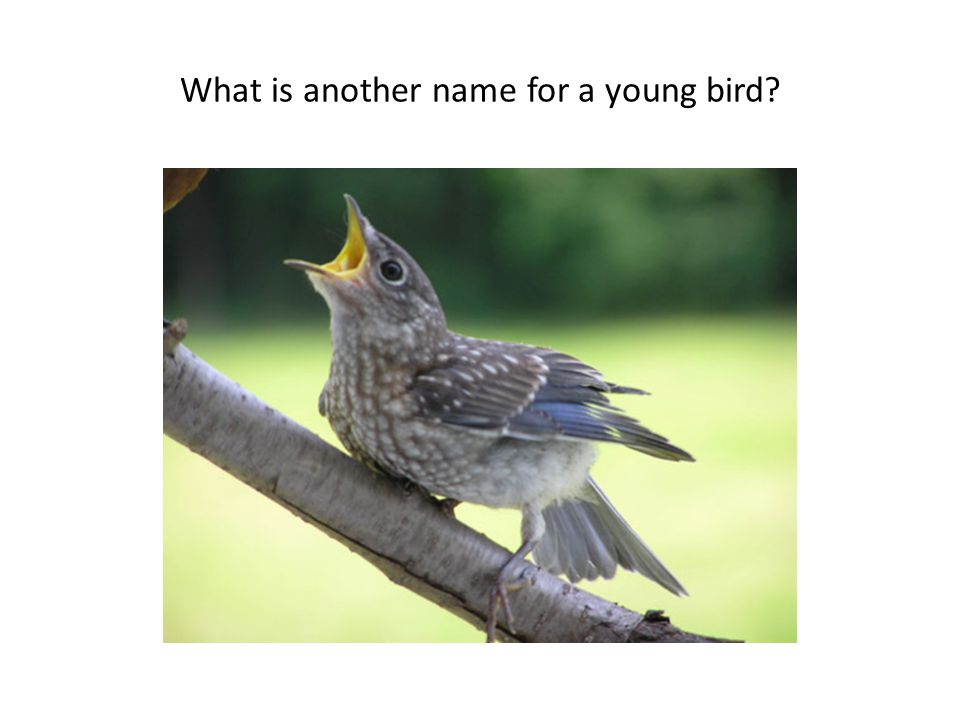 What is another name for a young bird