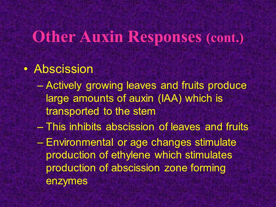 Other Auxin Responses (cont.) Abscission –Actively growing leaves and fruits produce large amounts of auxin (IAA) which is transported to the stem –This inhibits abscission of leaves and fruits –Environmental or age changes stimulate production of ethylene which stimulates production of abscission zone forming enzymes