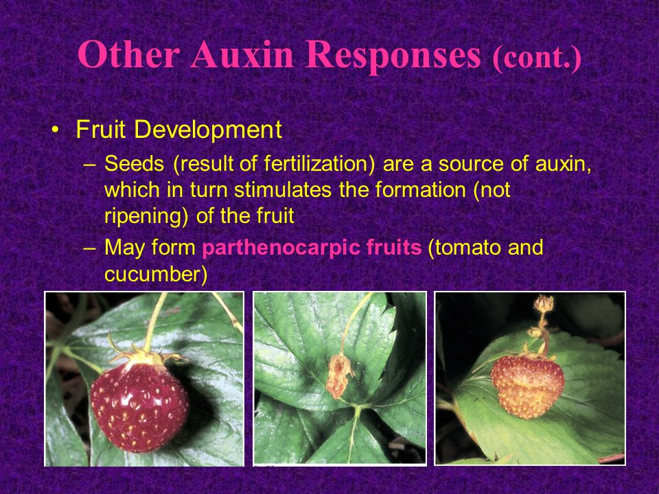 Other Auxin Responses (cont.) Fruit Development –Seeds (result of fertilization) are a source of auxin, which in turn stimulates the formation (not ripening) of the fruit –May form parthenocarpic fruits (tomato and cucumber)