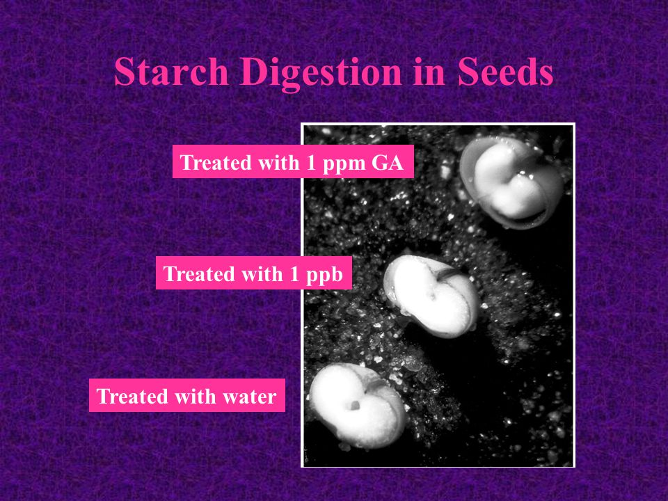 Starch Digestion in Seeds Treated with water Treated with 1 ppb Treated with 1 ppm GA