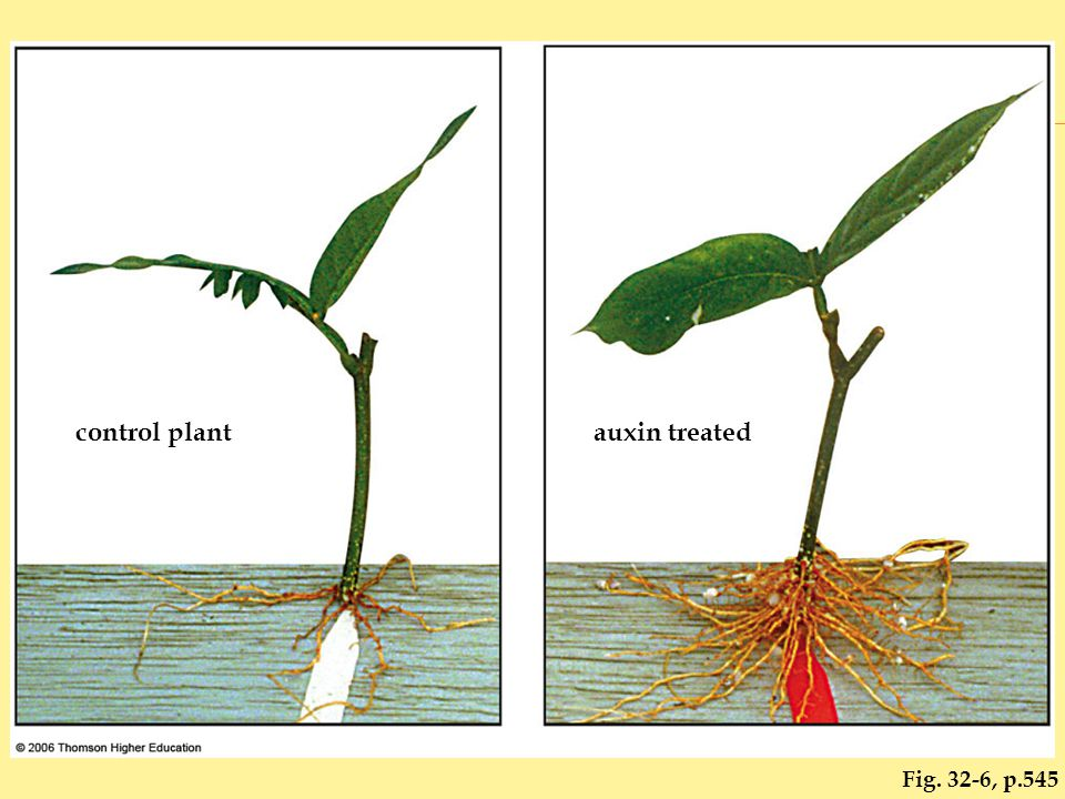 Fig. 32-6, p.545 control plantauxin treated