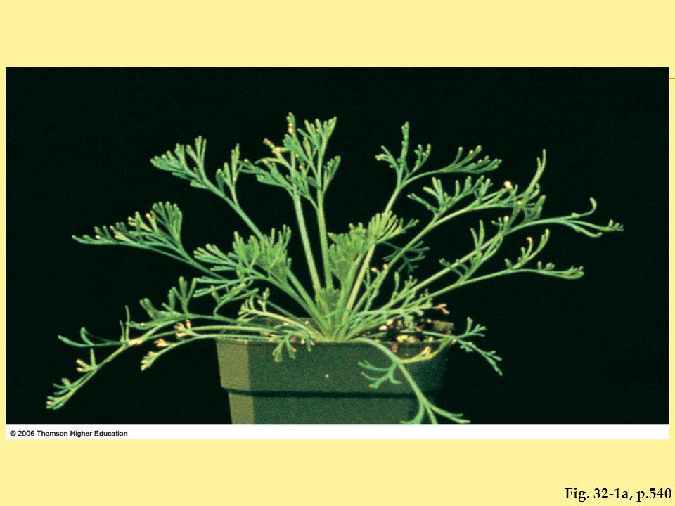 Fig. 32-6, p.545 control plantauxin treated