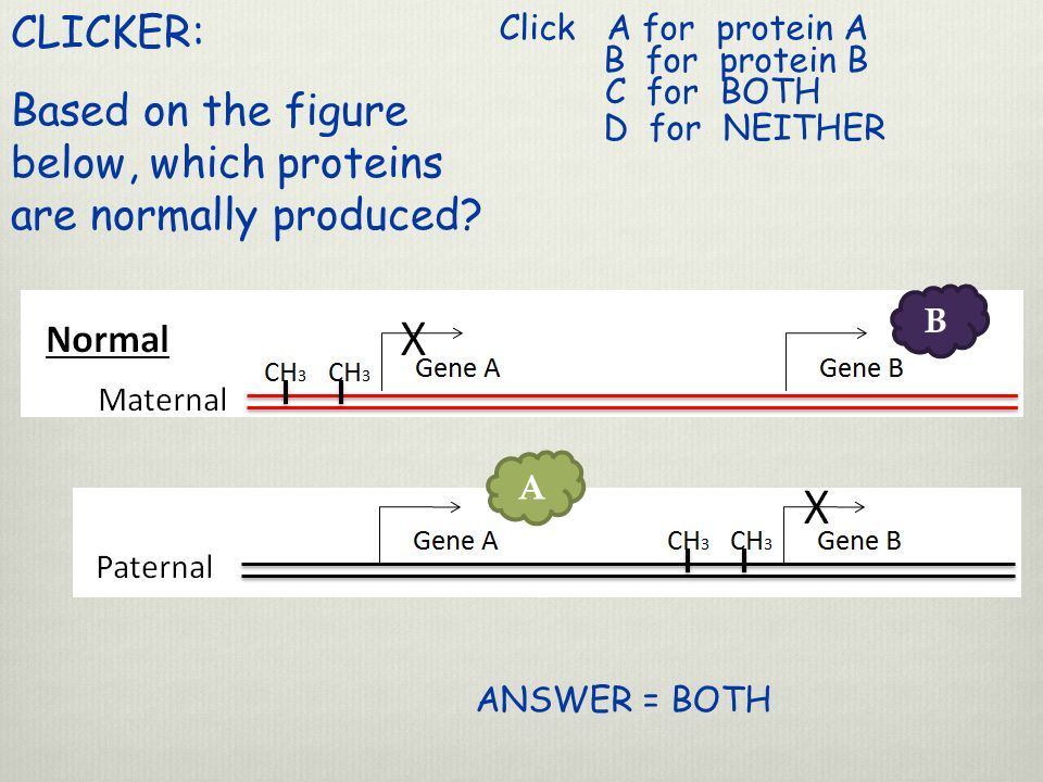 CLICKER: Based on the figure below, which proteins are normally produced.