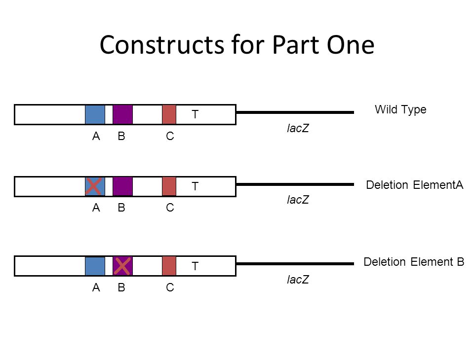 Constructs for Part One lacZ ABC T Wild Type lacZ ABC T ABC T x Deletion ElementA x Deletion Element B