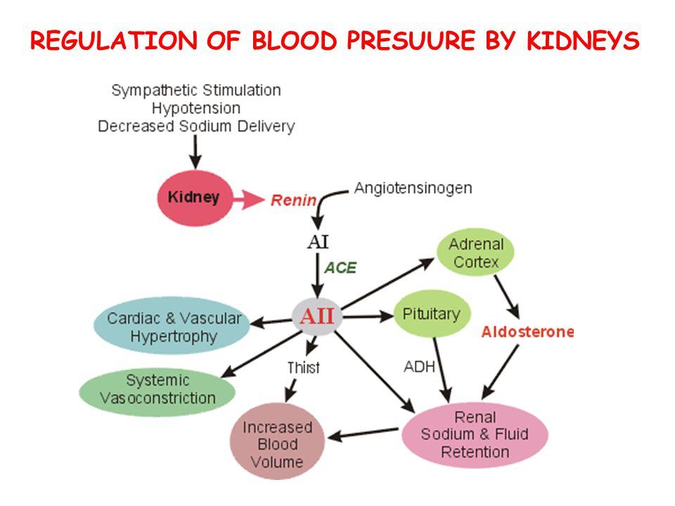 REGULATION OF BLOOD PRESUURE BY KIDNEYS