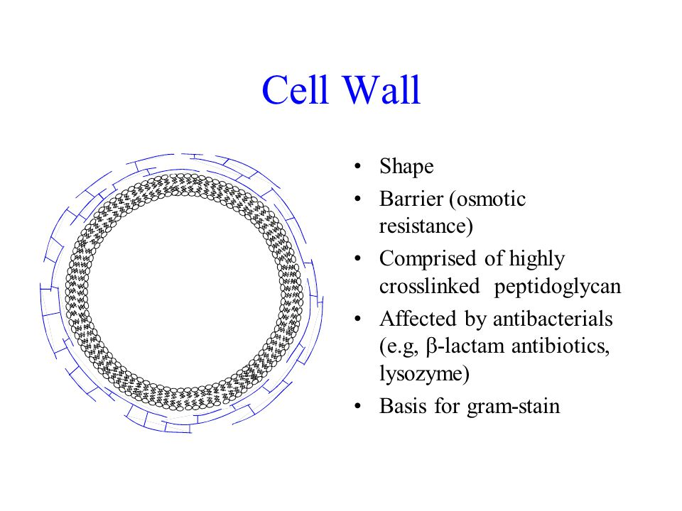 Cell Wall Shape Barrier (osmotic resistance) Comprised of highly crosslinked peptidoglycan Affected by antibacterials (e.g,  -lactam antibiotics, lysozyme) Basis for gram-stain
