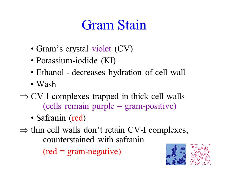 Gram Stain Gram's crystal violet (CV) Potassium-iodide (KI) Ethanol - decreases hydration of cell wall Wash  CV-I complexes trapped in thick cell walls (cells remain purple = gram-positive) Safranin (red)  thin cell walls don't retain CV-I complexes, counterstained with safranin (red = gram-negative)