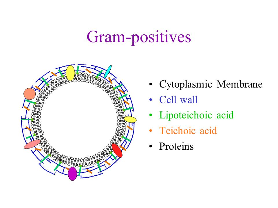 Gram-positives Cytoplasmic Membrane Cell wall Lipoteichoic acid Teichoic acid Proteins