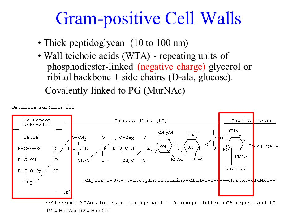 Gram-positive Cell Walls Thick peptidoglycan (10 to 100 nm) Wall teichoic acids (WTA) - repeating units of phosphodiester-linked (negative charge) glycerol or ribitol backbone + side chains (D-ala, glucose).