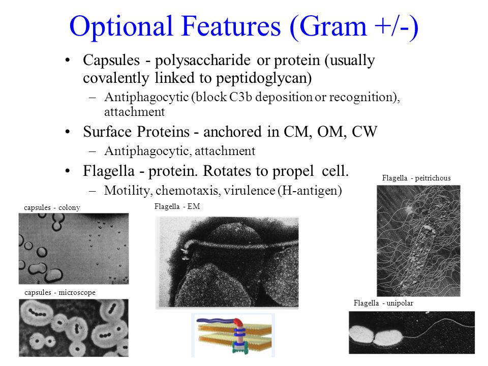 Optional Features (Gram +/-) Capsules - polysaccharide or protein (usually covalently linked to peptidoglycan) –Antiphagocytic (block C3b deposition or recognition), attachment Surface Proteins - anchored in CM, OM, CW –Antiphagocytic, attachment Flagella - protein.