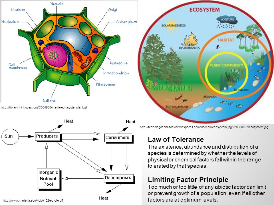 http://library.thinkquest.org/C004535/media/eukaryote_plant.gif http://fedediegosebasdavid.wikispaces.com/file/view/ecosystem.jpg/220360802/ecosystem.jpg Law of Tolerance The existence, abundance and distribution of a species is determined by whether the levels of physical or chemical factors fall within the range tolerated by that species.