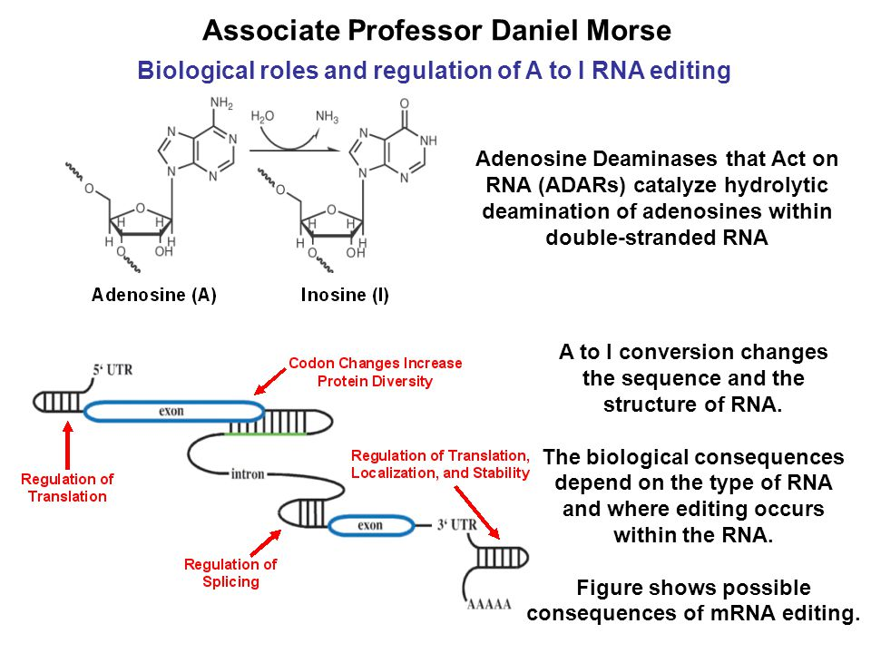 Biological roles and regulation of A to I RNA editing Associate Professor Daniel Morse Adenosine Deaminases that Act on RNA (ADARs) catalyze hydrolytic deamination of adenosines within double-stranded RNA A to I conversion changes the sequence and the structure of RNA.
