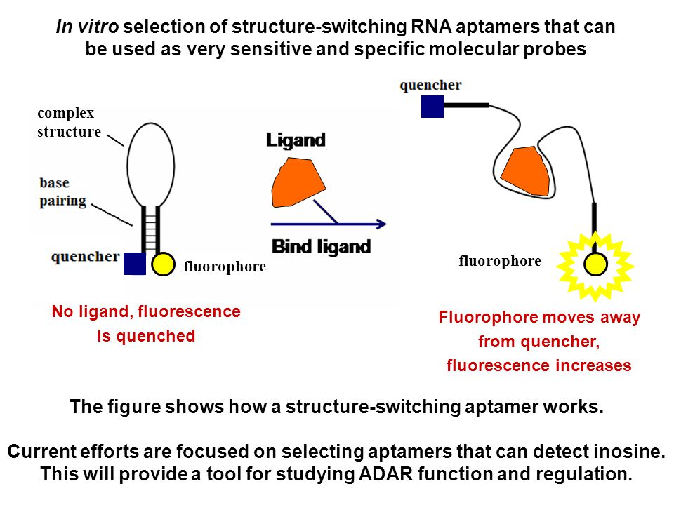 In vitro selection of structure-switching RNA aptamers that can be used as very sensitive and specific molecular probes No ligand, fluorescence is quenched Fluorophore moves away from quencher, fluorescence increases fluorophore complex structure fluorophore The figure shows how a structure-switching aptamer works.