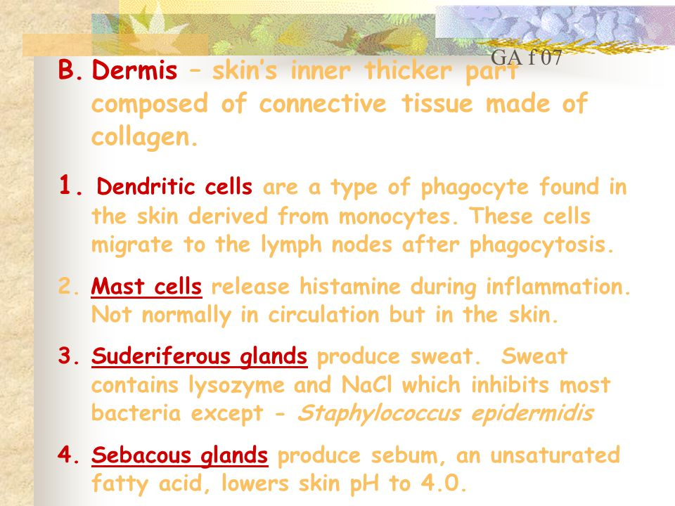 B.Dermis – skin's inner thicker part composed of connective tissue made of collagen.