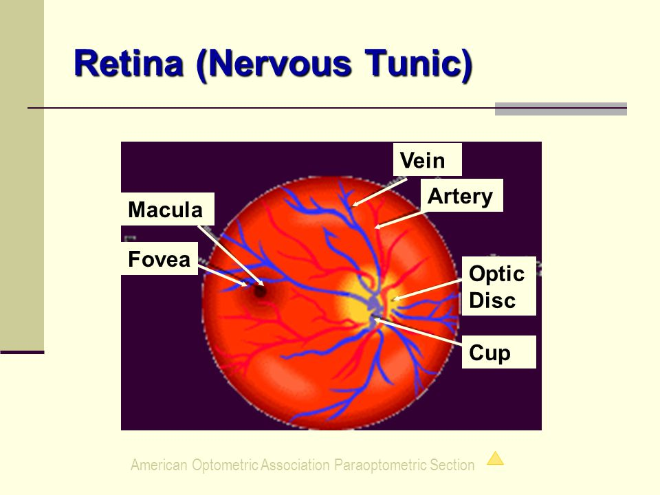 American Optometric Association Paraoptometric Section Retina (Nervous Tunic) Macula Fovea Vein Artery Optic Disc Cup