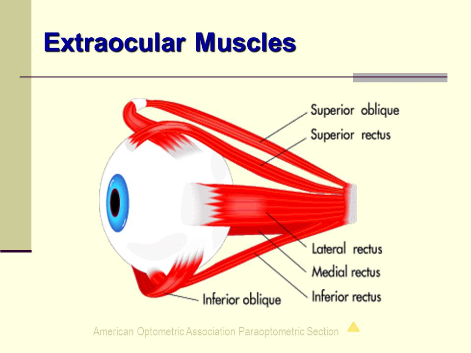 American Optometric Association Paraoptometric Section Extraocular Muscles