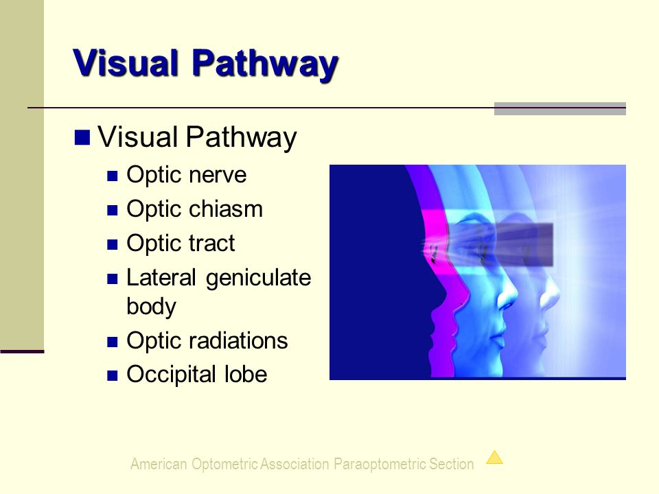 American Optometric Association Paraoptometric Section Visual Pathway Optic nerve Optic chiasm Optic tract Lateral geniculate body Optic radiations Occipital lobe