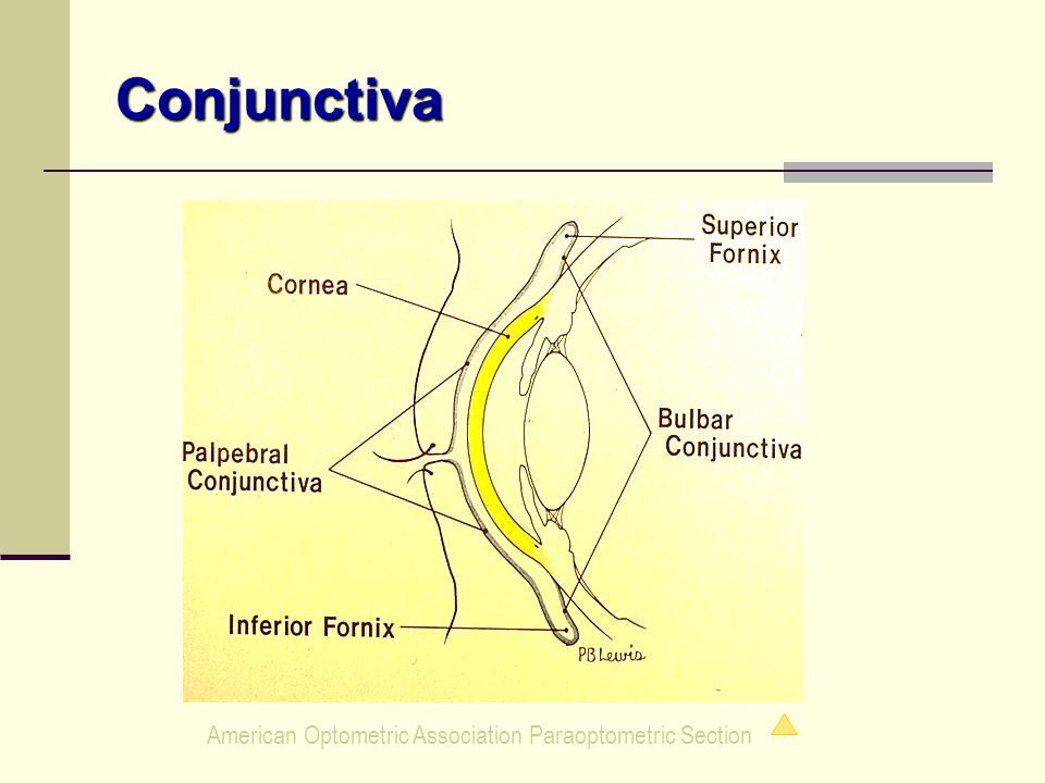 American Optometric Association Paraoptometric Section Conjunctiva