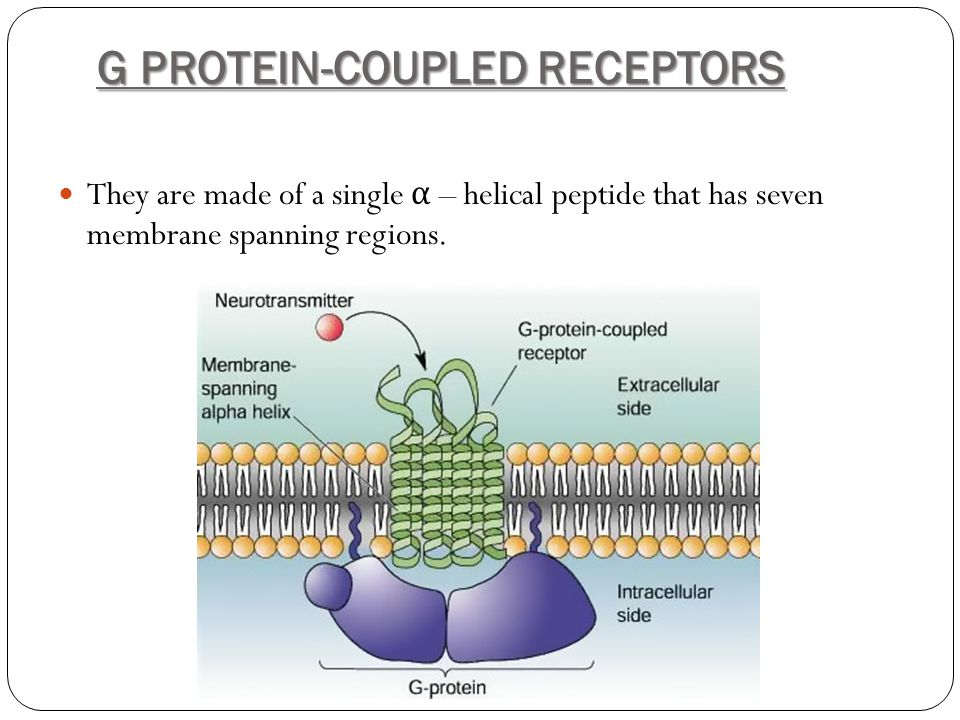 G PROTEIN-COUPLED RECEPTORS They are made of a single α – helical peptide that has seven membrane spanning regions.