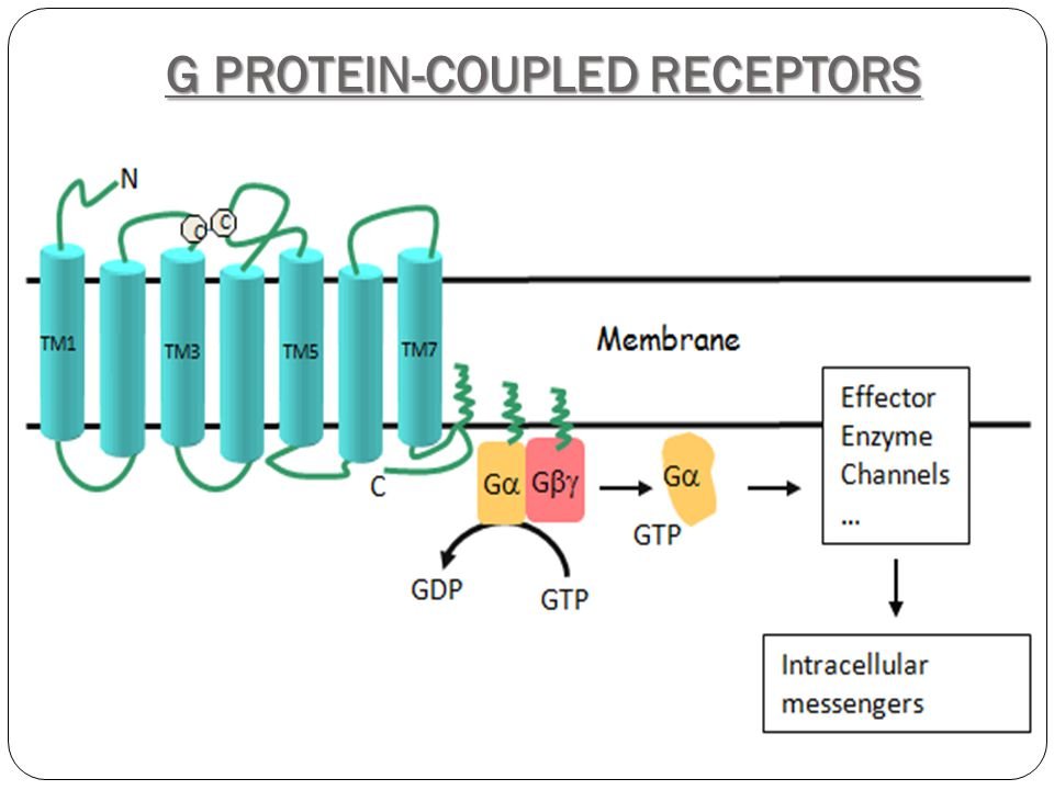 DAG Ca Second Messengers Essential in conducting and amplifying signals from G-protein coupled receptors.