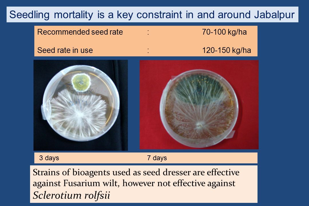 Strains of bioagents used as seed dresser are effective against Fusarium wilt, however not effective against Sclerotium rolfsii 3 days7 days Recommend