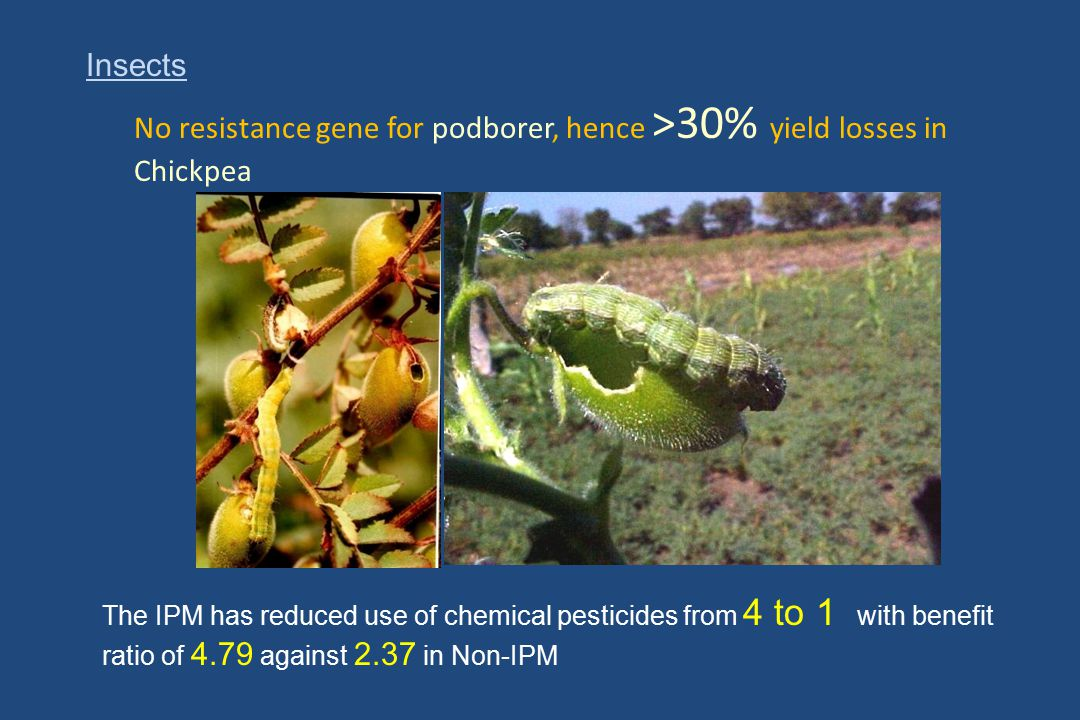 No resistance gene for podborer, hence >30% yield losses in Chickpea Insects The IPM has reduced use of chemical pesticides from 4 to 1 with benefit r