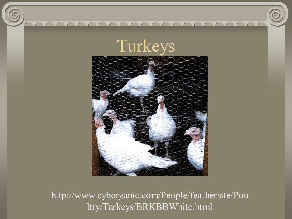 Turkeys http://www.cyborganic.com/People/feathersite/Pou ltry/Turkeys/BRKBBWhite.html