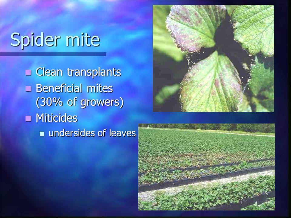Spider mite Clean transplants Clean transplants Beneficial mites (30% of growers) Beneficial mites (30% of growers) Miticides Miticides undersides of