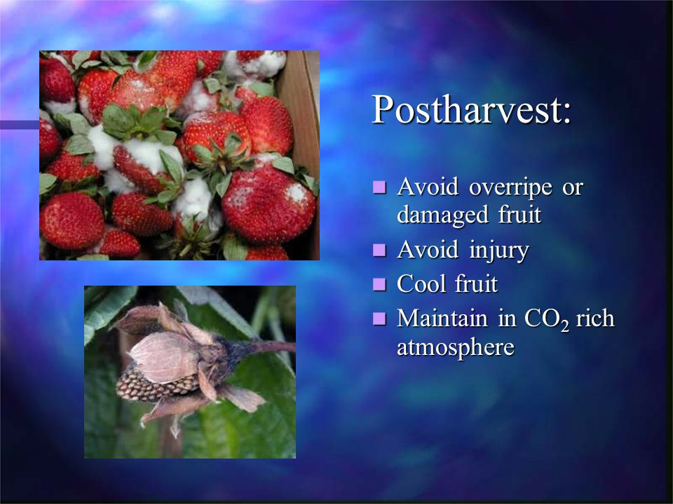 Postharvest: Avoid overripe or damaged fruit Avoid injury Cool fruit Maintain in CO 2 rich atmosphere