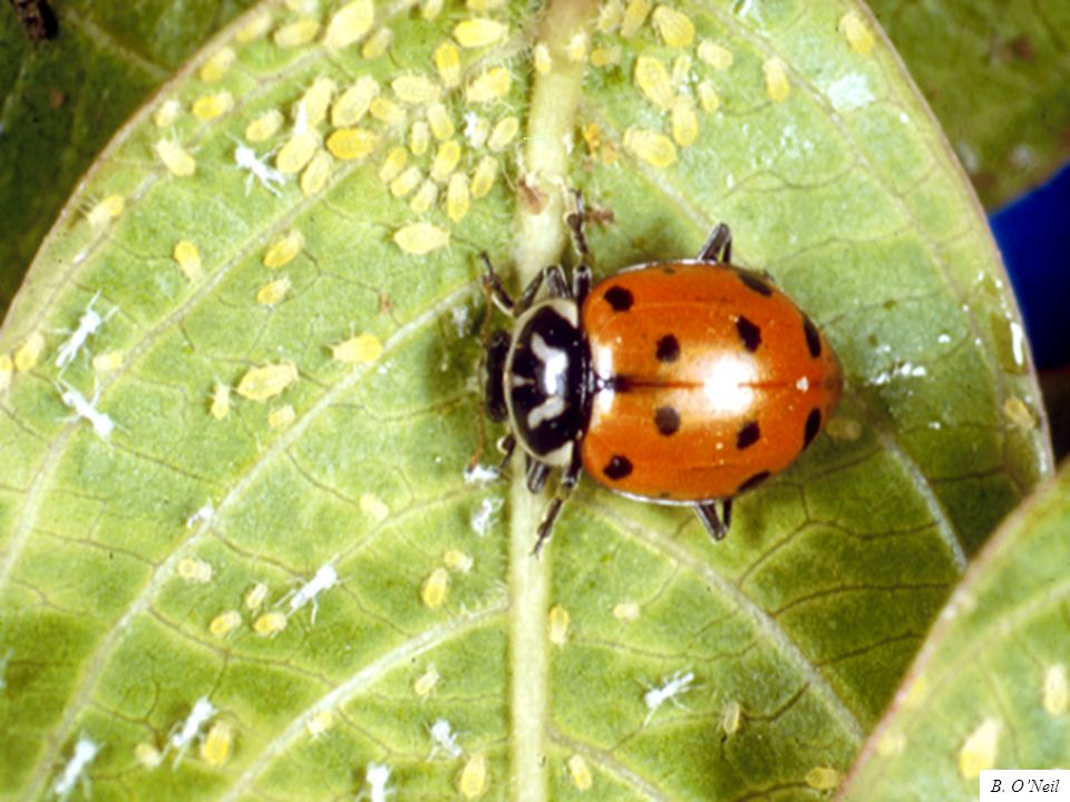 Lady beetle adult B. O'Neil