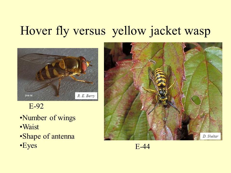 Hover fly versus yellow jacket wasp Number of wings Waist Shape of antenna Eyes E-44 E-92 R.