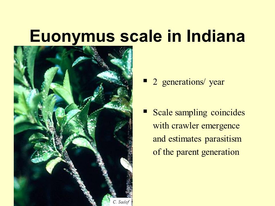 Euonymus scale in Indiana  2 generations/ year  Scale sampling coincides with crawler emergence and estimates parasitism of the parent generation C.